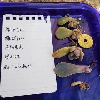 多肉植物 葉差し苗  B(その他)