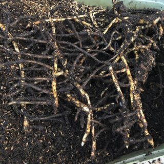 みょうが 地下茎 ミョウガ 苗 (野菜)