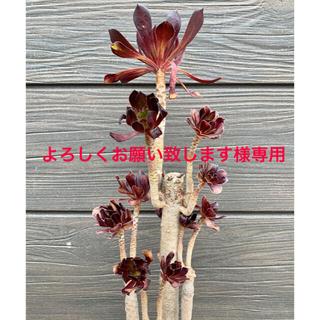 【大型】土・植木鉢付 黒法師 アオエニウム 多頭 多肉植物(その他)