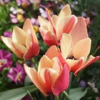 徐々に花色が変わる、珍しくて可愛らしい原種系ミニチューリップ・アニカ 2球(その他)