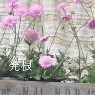 A(ᵔᴥᵔ)❤︎スカビオサ ピンク♡挿し穂苗♡可愛いお庭♡ベランダガーデン♡(その他)