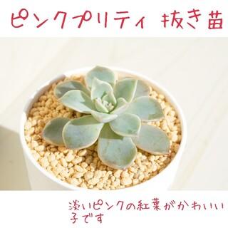 《新しいお家が決まりました☺︎》ピンクプリティー 抜き苗1つ 多肉植物(その他)
