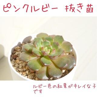 《新しいお家が決まりました☺︎》ピンクルビー(ピンクルルビー) 抜き苗 多肉植物(その他)