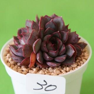 30 ピンクステラ群生 多肉植物 送料無料(その他)