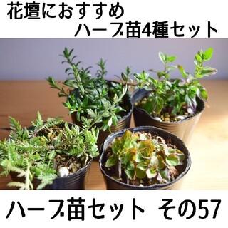 要望対応可能!ハーブ苗セット その57 花壇におすすめのハーブ苗 4種セット(プランター)