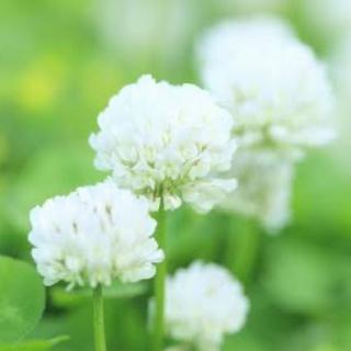 【最安値】シロツメクサ、ホワイトクローバーの種 60g   芝生、雑草対策に!(その他)