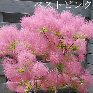 スモークツリー 苗希少品種 ベストピンク 苗木(ドライフラワー)