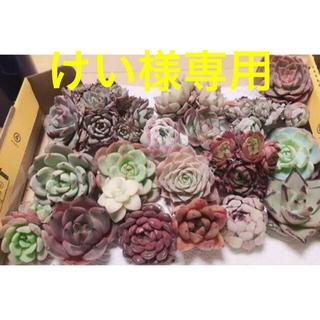 けい様専用  韓国多肉植物  大きめセット(b)18種(その他)