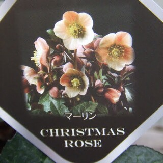 クリスマスローズ・マーリン 開花期待株(その他)