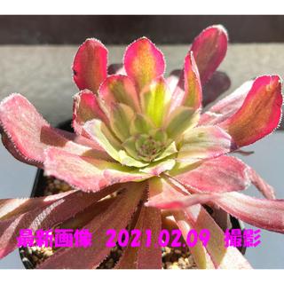 多肉植物 アエオニウム マリド錦 抜き苗 7(その他)