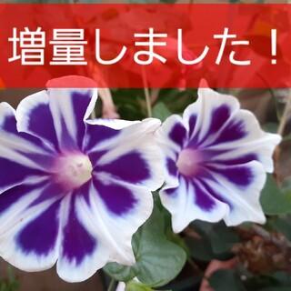 朝顔 スノーフレーク(その他)