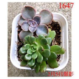✡2点以上購入で100円引き【1647】多肉植物2種類セット(その他)