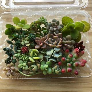 【多肉植物】カラフルカット苗20種セット(その他)