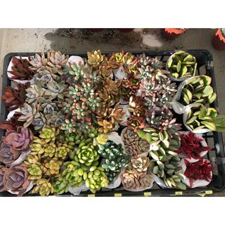 多肉植物 カット苗 葉挿し 14種類(その他)