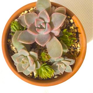 多肉植物 ピンクプリティ 根付き 白牡丹 葉挿し 姫朧月 葉挿し セット(その他)