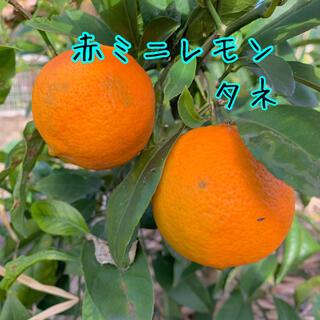 赤ミニレモンの種5粒(その他)