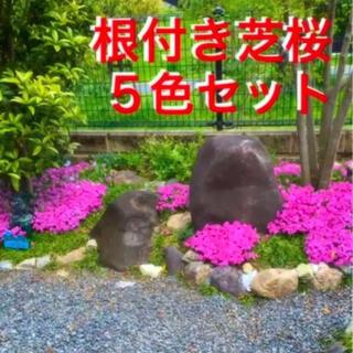 ☆希少な5色セット❣️根付き苗☆芝桜☆初心者向け☆(プランター)