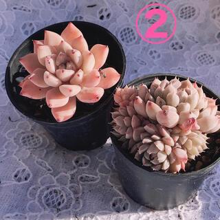 韓国多肉植物  Red ZaragosaとMexico Minimaのセット②(その他)