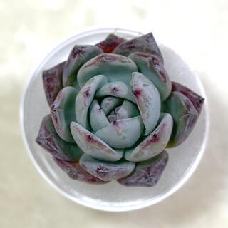 多肉植物 ⌘ 韓国苗 ブラックサバス ⌘   (その他)