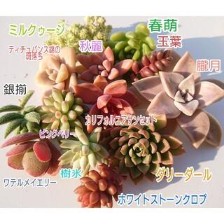 多肉植物 まとめ売り☆ダリーダール☆ミルクゥージ☆玉葉☆銀揃☆ピンクベリー等(その他)