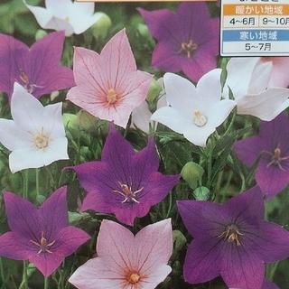 花の種       桔梗ミックス+桔梗ピンク+おまけ付き50粒(その他)