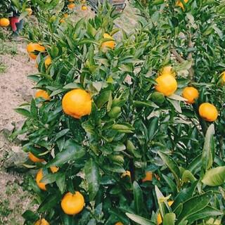 【グリーン*様専用】柑橘セット(フルーツ)