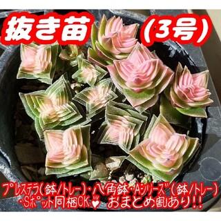 【抜き苗】茜の塔錦 (3号) 多肉植物 クラッスラ 紅葉 プレステラ プラ鉢(その他)