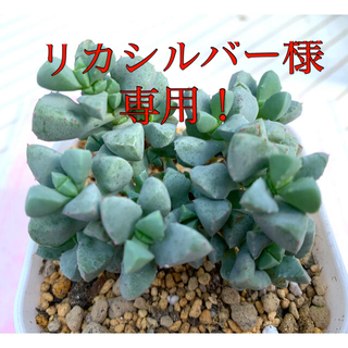 多肉植物 デルトイデス①❣️美苗 抜き苗(その他)