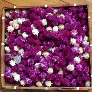 sale♥️千日紅15☆ヘッド 300個 紫(パープル)&白 ドライフラワー(ドライフラワー)