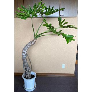 希少 樹上がりフィロデンドロン・セローム 観葉植物 森星 SOLSOPARK(その他)
