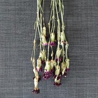 ドライフラワー 花材 カーネーション(ドライフラワー)
