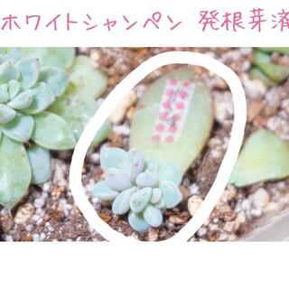 《新しいお家が決まりました》ホワイトシャンペン 発芽発根済みの葉挿し苗 多肉植物(その他)