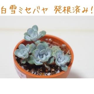 白雪(シラユキ)ミセバヤ 抜き苗 多肉植物(その他)