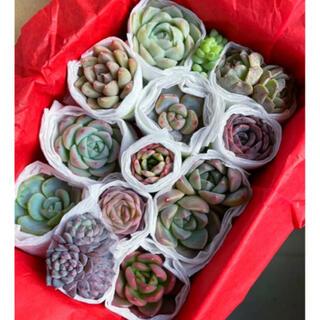 多肉植物 寄せ植え 詰め合わせ ピンククリスタルローズ アルバビューティー(その他)
