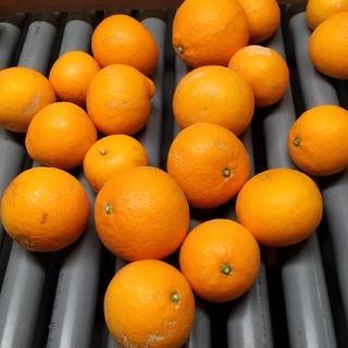 清見オレンジ和歌山 わけあり5キロ(フルーツ)