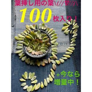 【初出品❗️★葉挿しモリモリ100枚 +今だけ増量中パック★】(その他)