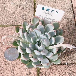 多肉植物♡花月夜×黒爪ザラゴーサ♡(その他)