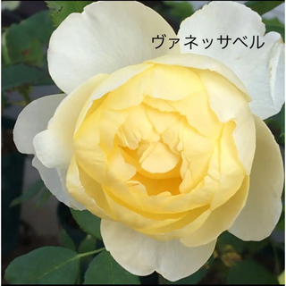 ✽⋆*.⋆* ソフトイエローカップ咲き  ティーの香 ✽⋆*.⋆* バラ苗(その他)