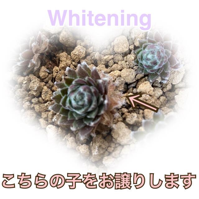 【紅葉するセンペルビウム❤️】ホワイテニング 抜き苗1本 土とポットご用意下さい ハンドメイドのフラワー/ガーデン(その他)の商品写真