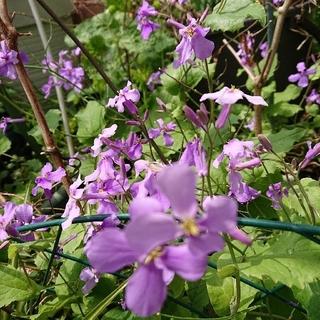 ムラサキハナナ(紫花菜) ポット植え①(プランター)