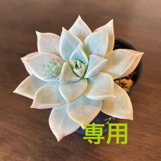 銀玉蓮 グラプトベリア属 抜き苗 紅葉 多肉(その他)
