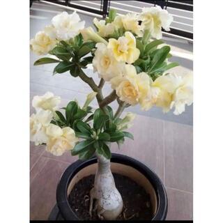盆栽バラ【クリーム】2粒 送料無料(その他)