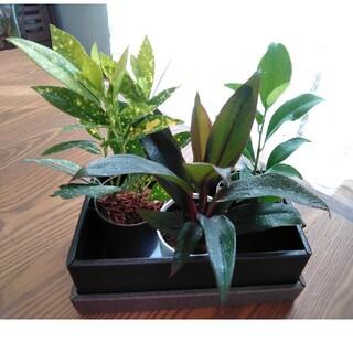 観葉植物3種、寄植えのお供に。(その他)