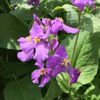 紫花菜 種(その他)