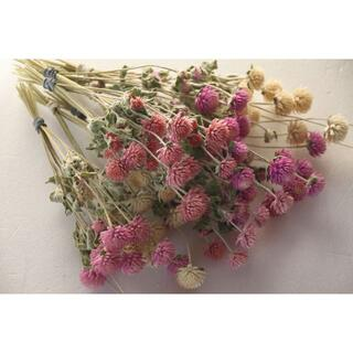 千日紅葉付き茎長め4色70本★ピンク&白枝付き(ドライフラワー)