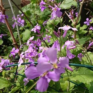 ムラサキハナナ(紫花菜) ポット植え苗です③(プランター)