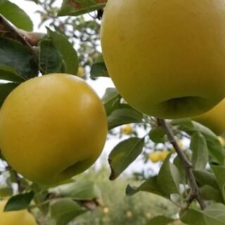酸味⚪食感⚪人気のシナノゴールド家庭用5kg(フルーツ)