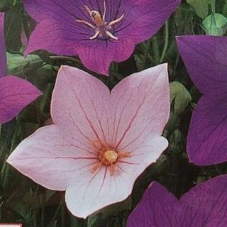 花の種       桔梗ピンク+おまけ付き50粒(その他)
