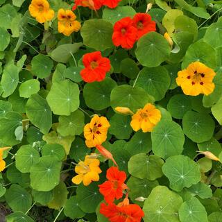そろそろ植えごろ❣️ナスタチウム 金蓮花の種18粒(その他)
