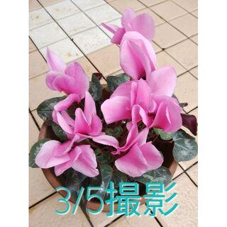 🌸雨風の庭でとても元気な苗★ガーデンシクラメンピンク苗のみ 鉢は送りません(その他)